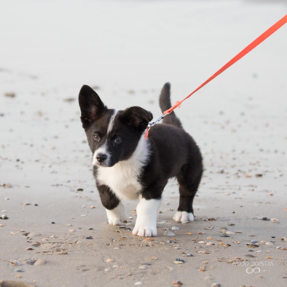 Deze schattige kleine Corgi pup was voor het eerst op het strand. Wat was hij nieuwsgierig! Er viel zoveel te zien, ruiken en te graven! Ik smelt helemaal bij dat stevige kleine, korte pootje vooraan :)