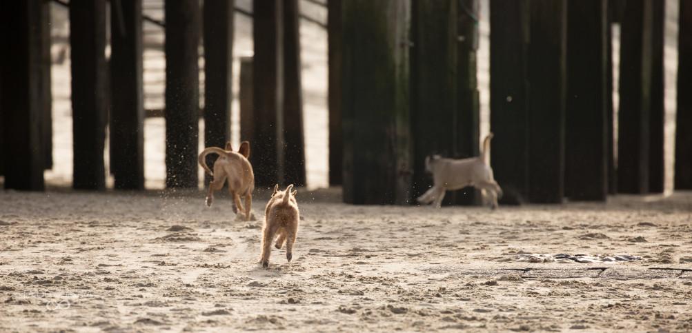 Drie hondjes spelen samen in het gouden licht op het strand. Het zand spat op als ze tussen de palen van de strandtent door hollen.