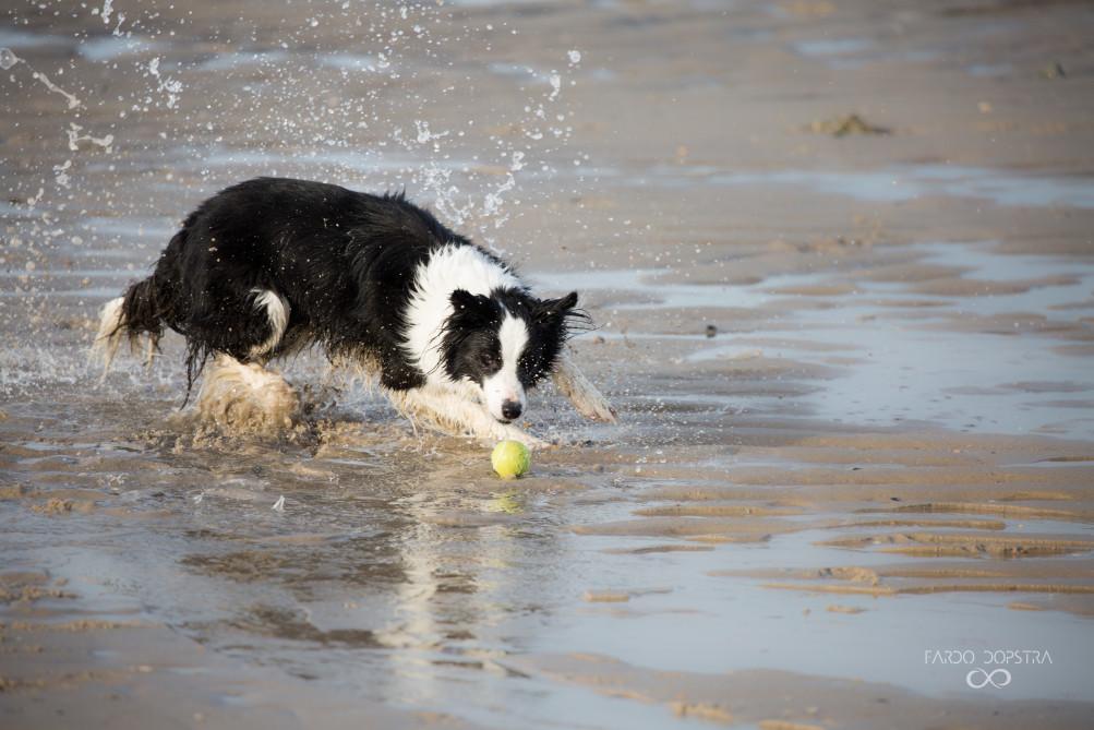 Charly, een border collie, was na een middag spelen met zijn tennisbal behoorlijk moe. Amore speelde met hem, en wist zelfs een keer de bal te bemachtigen. Ik vond het schitterend om te zien hoe snel Charlie was, hoe het water opspatte als hij achter zijn balletje aanvloog.
