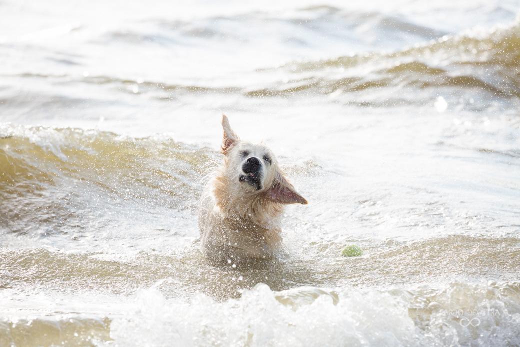 Hond spelen in het water Callantsoog