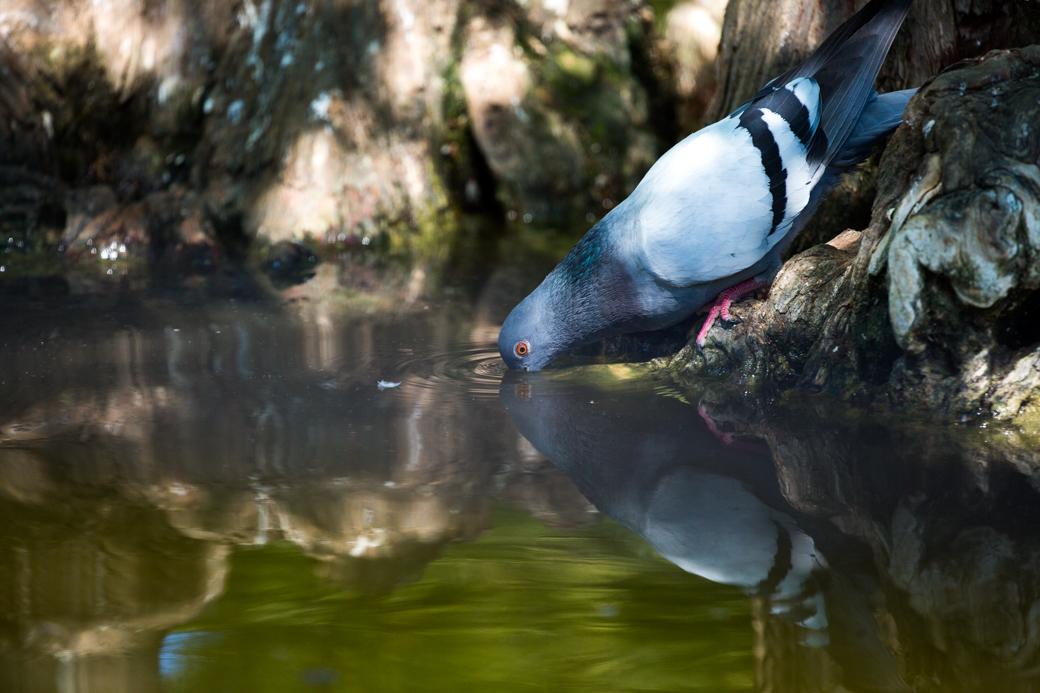 Drinkende duif Parc de la Ciutadella Barcelona