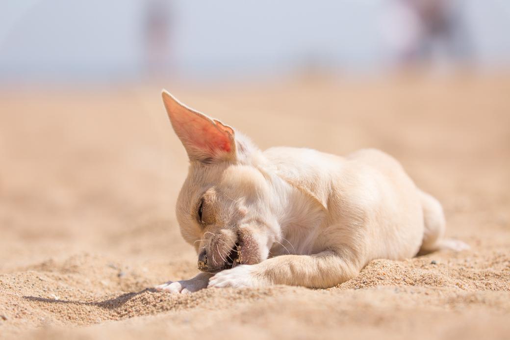 Chihuahua pup strand Barcelona